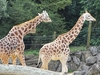 Giraffe @ Auckland Zoo - North Island NZ