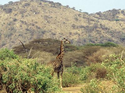 Lake Manyara National Park - Giraffe