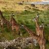 Giraffes In Arusha National Park