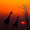 Giraffes & Dead Tree Against Sunset In Tanzania