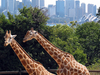 Giraffes In Taronga Zoo