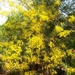Golden Shower Tree