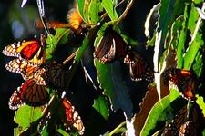 Goleta Monarch Cluster