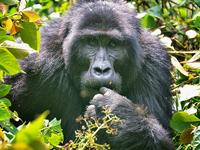 3 Day Fly-in Gorilla Tracking In Uganda