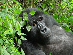 Gorilla Permits on Promotion Fotos