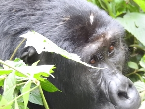 Gorilla Safari Uganda Photos