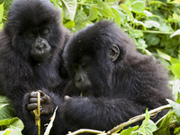 Chimpanzee Tracking, Gorilla Tracking, Two Game Drives (4 Parks 8 Days)