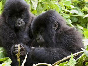 Chimpanzee Tracking, Gorilla Tracking, Two Game Drives (4 Parks 8 Days) Fotos
