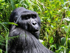 Ladies Only Gorilla Trekking and Savannah Safari in Uganda Fotos
