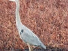 Great Blue Heron Near Hagerman ID