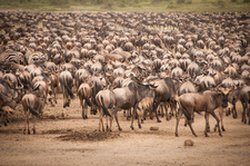 Great Migration, Serengeti