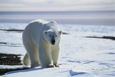 Greenland Polar Bear