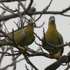 Green Pigeons At Sultanpur National Park