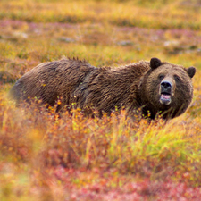 Grizzly, Denali National Park