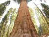 General Sherman Tree Looking Up