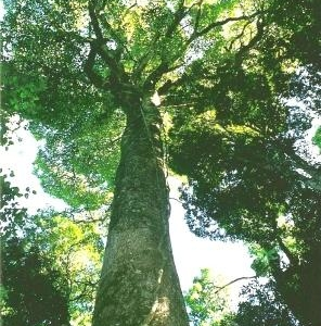 Giant White Beech At Tooloom Scrub