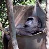 Gorillas Zoo Atlanta Atlanta 2 C Georgia