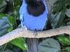 Gralha  Azul Is The City Bird