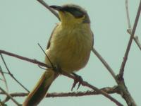 Simpson Desert Area Importante para las Aves