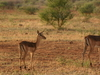 Group Of  Impala