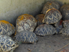 Group  Of   Tortise  At   Srikurmam