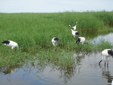Red-Crowned Cranes At The Zhalong Wetland