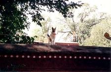 Guard Dog On Norbulingka Wall