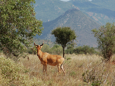 Hartebeest In Tsavo West