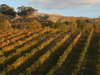 Hawke's Bay Vineyard In Autumn