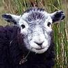 Herdwick Sheep Crop