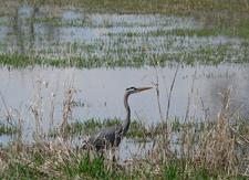Heron At Vancouver Lake Wetland WA