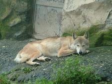 Himalaya Wolf