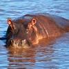 Hippo At Serengeti NP Tanzania