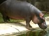 Hippopotamus  At Zoo Park  Visakhapatnam