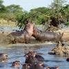 Hippos Fighting @ Serengeti - Tanzania