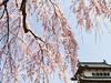 Hirosaki Castle And Cherry Blossoms