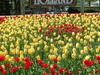 Holland  M I  Tulips  0 1