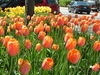 Holland  M I  Tulips  0 2