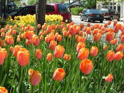 Holland  M I  Tulips  0 2
