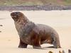 Hooker's Sea Lion @ Otago Peninsula NZ