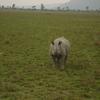 Horned Rhinoceros