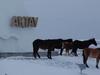 Horses In Mangystau Province