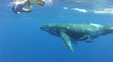 Humpback And Swimmer