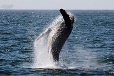 Humpback Breaching 04 21 09