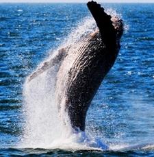 Humpback Breaching 11 17 09