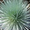 Species Of Silversword Haleakalā