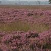 Heide Op Het  Dwingelderveld