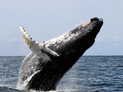 Humpback Whale Breaching Off
