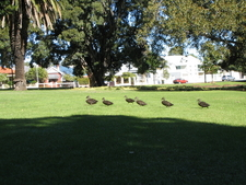 Ducks On The Lawn Aarea