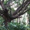Bugle Rock Park Tree - Bangalore